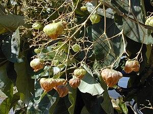 Teakbaum frucht  GoWikipedia - Teakbaum – Wikipedia