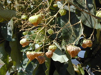 Teak - Teak foliage and fruits