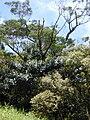 Starr 010715-0034 Ficus cf. platypoda.jpg
