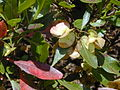 Starr 010822-0059 Dodonaea viscosa.jpg