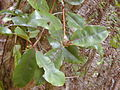 Starr 030405-0147 Syzygium sandwicensis.jpg