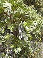 Starr 030603-0042 Sophora chrysophylla.jpg