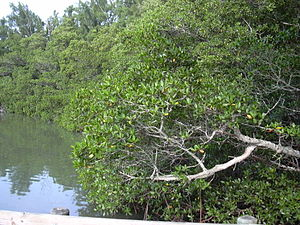 Mangrove. Location: Florida, South Lido Beach