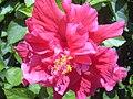 Starr 031108-0222 Hibiscus rosa-sinensis.jpg