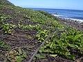 Starr 031127-0061 Jacquemontia ovalifolia subsp. sandwicensis.jpg