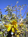 Starr 040214-0079 Sophora chrysophylla.jpg