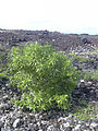 Starr 040410-0058 Myoporum sandwicense.jpg