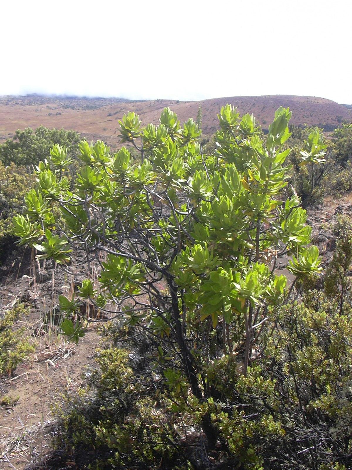 Dubautia arborea - Wikipedia