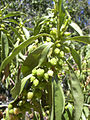 Starr 040723-0424 Myoporum sandwicense.jpg
