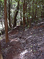 Starr 040730-0016 Psidium cattleianum.jpg