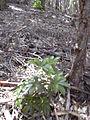 Starr 040812-0052 Schefflera arboricola.jpg