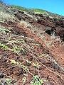 Starr 050516-1275 Jacquemontia ovalifolia subsp. sandwicensis.jpg