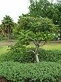 Starr 060329-6805 Munroidendron racemosum.jpg