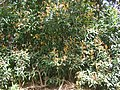 Starr 060422-9437 Syzygium jambos.jpg