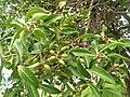 Starr 060429-7990 Nestegis sandwicensis.jpg