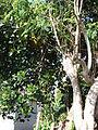 Starr 070403-6358 Artocarpus heterophyllus.jpg