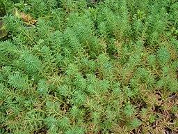 Starr 070515-7059 Myriophyllum aquaticum