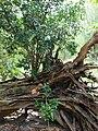 Starr 080608-7727 Ficus microcarpa.jpg