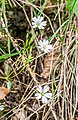 Stellaria holostea in Aveyron.jpg