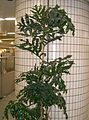Stenocarpus sinuatus1.jpg