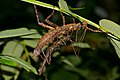 Stick Insects (Haaniella sp.) mating (23497326310).jpg