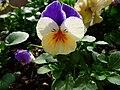 Stiefmütterchen tricolor.JPG
