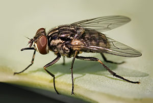 Muscidae - Image: Stomoxys calcitrans 01