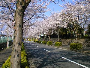 a street lined with blossoming cherry trees, Y...
