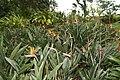 Strelitzia reginae 45zz.jpg