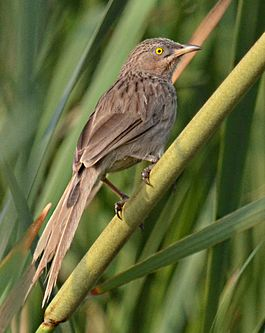 Striated Babbler.jpg