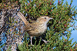Striated Fieldwren (Calamanthus fuliginosus) (8079660765).jpg