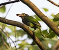Striated barbet with a catch- at Narendrapur, West Bengal.jpg