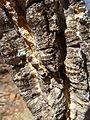 Strychnos cocculoides, stam, c, Waterberg.jpg