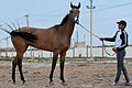 Studfarm in Turkmenistan - Flickr - Kerri-Jo (117).jpg