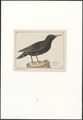 Sturnus vulgaris - 1753-1834 - Print - Iconographia Zoologica - Special Collections University of Amsterdam - UBA01 IZA1000274.tif