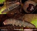 Suffused snowflat adult larva 2009 06 19 9 10 (3683849098).jpg