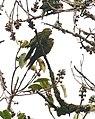 Sulphur-winged Parakeets (2718554582).jpg