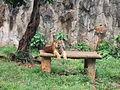 Sumatran Tiger Ragunan Zoo yawning.JPG