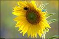 Sunflower (4857519473).jpg
