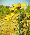 Sunflowers at Rajasthan.jpg