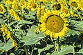 Sunflowers cultivated in Southern France 03.jpg
