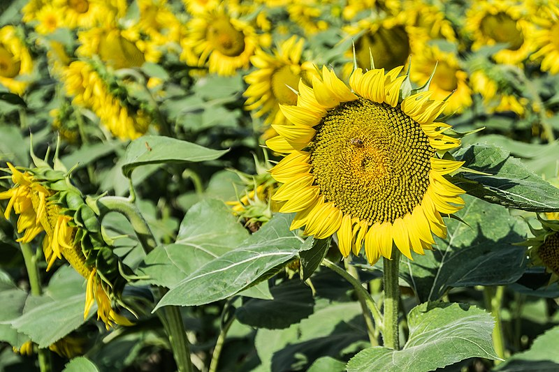 File:Sunflowers cultivated in Southern France 03.jpg