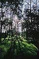 Sunlight through Silver Birch Trees.jpg