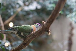 Superb Fruit-dove (Ptilinopus superbus) -on branch.jpg