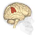 Supramarginal gyrus - lateral view.png