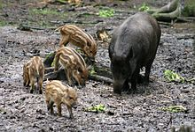Sus scrofa 1 - Otter, Owl, and Wildlife Park.jpg