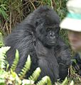 Susa group, mountain gorillas - Flickr - Dave Proffer (29).jpg