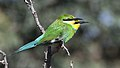 Swallow-tailed bee-eater, Merops hirundineus, at Kgalagadi Transfrontier Park, Northern Cape, South Africa (33691949214).jpg