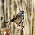 Swamp Sparrow (16194336000).jpg