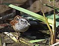 Swamp Sparrow (crop test 3) (31737992724).jpg